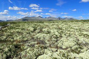 yellow lichen below mountains