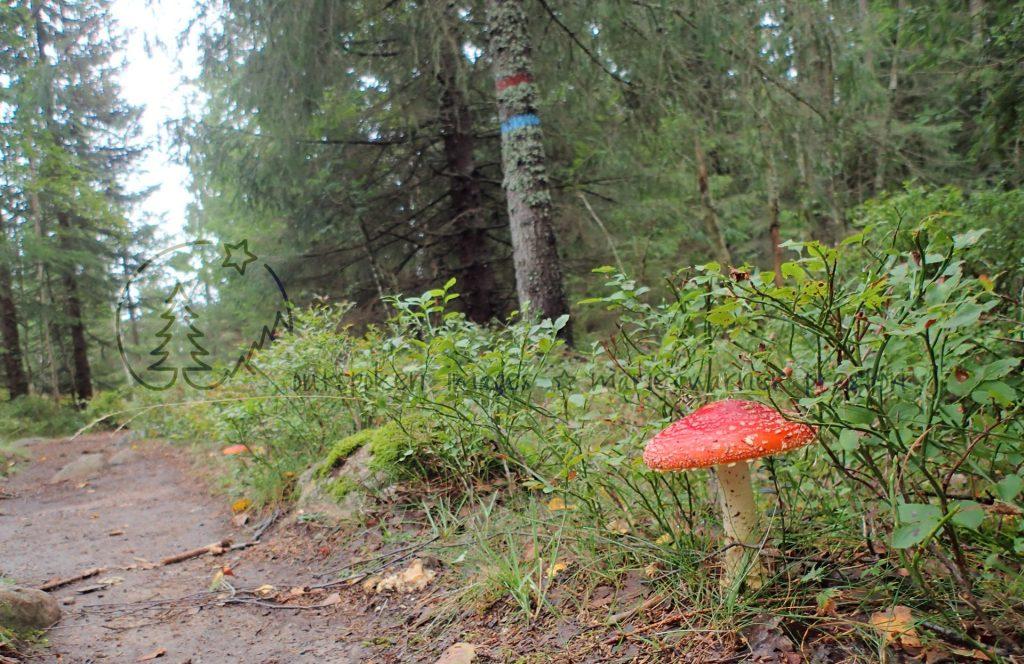 mushroom, forest, blueberries