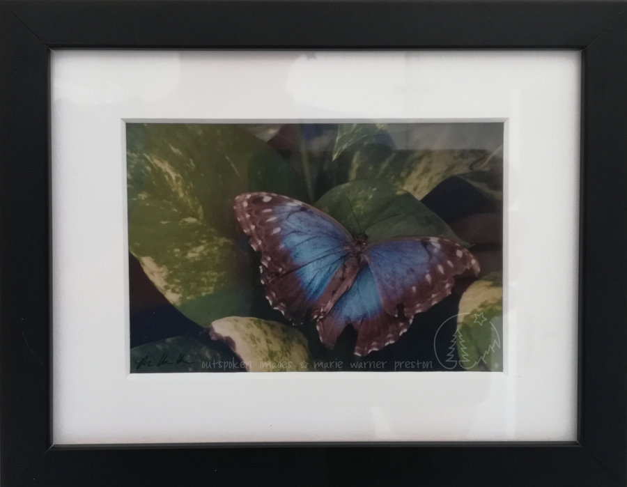 Photograph: Blue morpho butterfly on green leaves. Framed in white photo matte/passepartout with black wood frame.